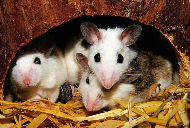 ¿Por dónde entran los ratones a la casa?