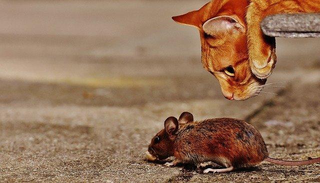 ¿Qué odian los ratones?  Los mejores métodos para mantenerlos alejados
