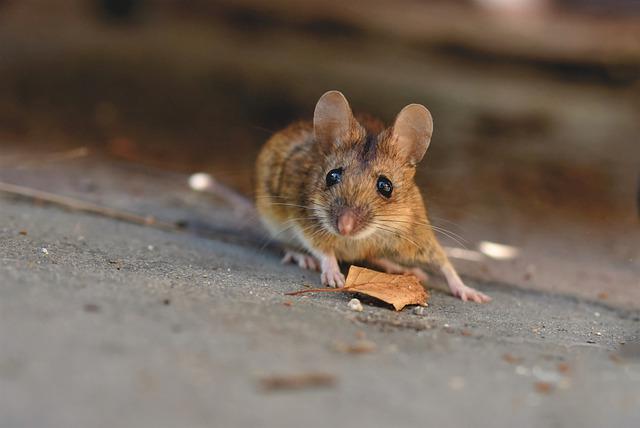 Cómo reconocer y limpiar la caca del ratón - Guía