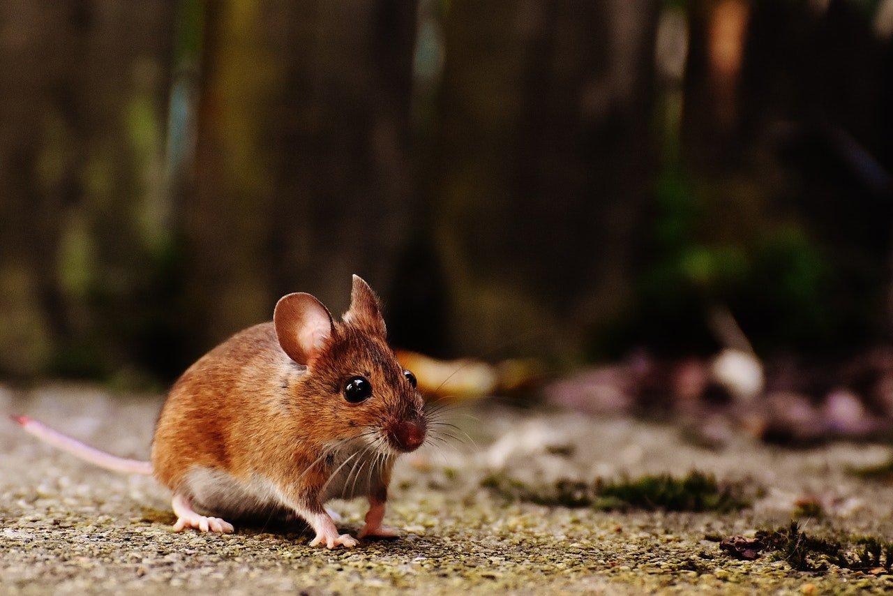 Cómo atrapar un ratón