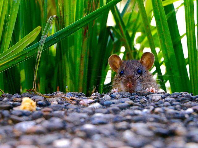 Cómo deshacerse de los ratones del jardín y cómo deshacerse de ellos