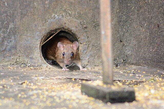 Cómo deshacerse de los ratones: consejos sobre cómo expulsarlos permanentemente