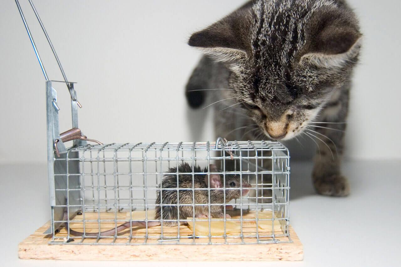 La mejor trampa para ratones - Guía y reseñas