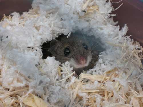 Cómo encontrar un nido de ratón y cómo eliminarlo - Guía