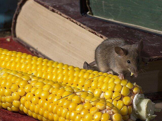 Ratones en la casa, ¿cómo saberlo?