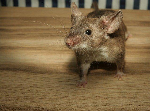 Repelente de ratón: cómo funciona y cómo lo elige