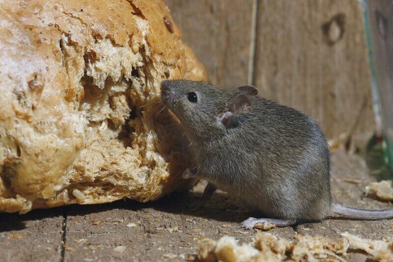 ¿Cómo desinfectar los ratones en la casa correctamente y sin riesgo?
